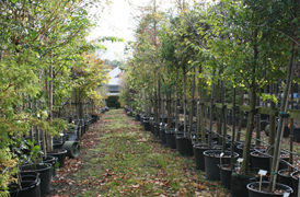 Mature Trees, Potted Trees, Fruit Trees, Tree supplier