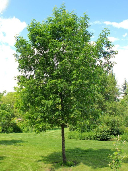 What Kind Of Grass Will Grow Under Oak Trees : Our trees tree heritage